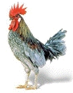 A picture named rooster.jpg