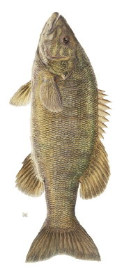 A picture named bass.jpg