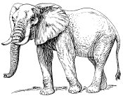 A picture named elephant.jpg